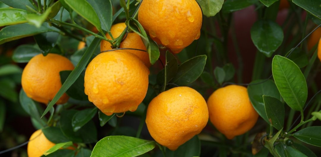 Les oranges source populaire de vitamine C